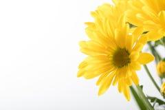 Free Yellow Wild Flower - Arrowleaf Balsamroot Background Royalty Free Stock Image - 127255926