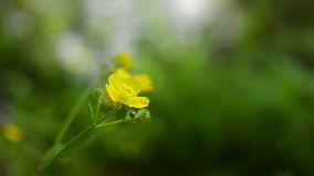 Yellow wild flower, blurred background. stock video