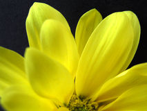 Yellow Wild Flower Close-Up. Close-up of a fresh wild yellow flower royalty free stock photos