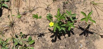 Yellow, Wild, Flower, Dirt, Outside royalty free stock images