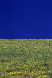 Yellow wild flower field near mountain in Northern India Royalty Free Stock Photo