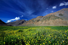 Yellow wild flower field near mountain in Northern India Royalty Free Stock Photography