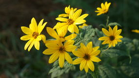 Yellow wild flower. On a field in summer Stock Image