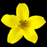 Yellow Wild Flower with Five Petals Isolated. On Black Background Stock Photo