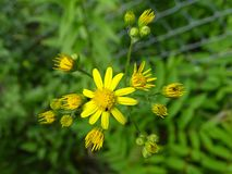 Yellow wild flower. Growing in a field Stock Images