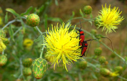 Yellow wild  flower insects Royalty Free Stock Photo