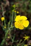 Yellow wild flower, macro Stock Photo