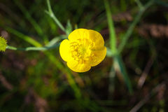 Yellow wild flower, macro Stock Image