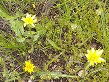 3 Yellow wild flower nature ground scape royalty free stock images