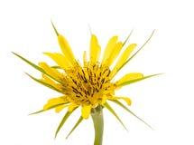 Yellow wild flower Stock Image