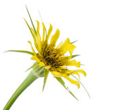 Yellow wild flower Royalty Free Stock Photo