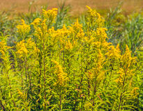 Yellow wild flowering Goldenrod plants from close Stock Photos