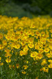 Yellow Wild flowers. In an open field Royalty Free Stock Images