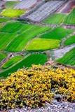 Yellow wild flowers on the background of emerald green fields. View from above. Nepal. The village of Kagbeni Royalty Free Stock Image