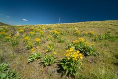 Yellow wild flowers bloom covering a hill with a telephone pole royalty free stock photography