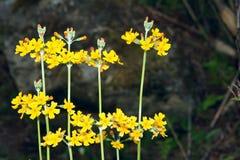Yellow wild flowers Royalty Free Stock Photo