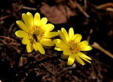 Yellow wild flowers. The forest blooming yellow beautiful Binglinghua Stock Photography