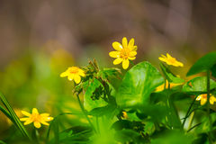 Yellow wild flowers in a forest Royalty Free Stock Images