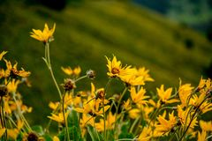 Yellow wild flowers in front of Grand Teton peaks, Yellowstone Park royalty free stock photo