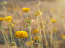 Yellow Wild Flowers glow in the afternoon sun Stock Photos