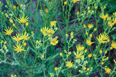 Yellow wild flowers. And green foliage background Royalty Free Stock Photos