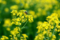 Yellow wild flowers with a huge bee. Royalty Free Stock Photography
