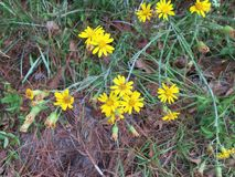 Yellow Wild Flowers in a neglected Garden stock image