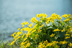 Yellow wild flowers by the river with sun rays. Stock Photo
