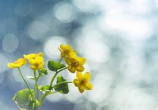 Yellow wild flowers by the river with sun rays. Stock Image