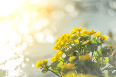 Yellow wild flowers by the river with sun rays. Royalty Free Stock Photos