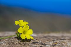 Yellow wild flowers on rough stone surface Stock Photography