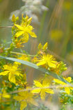 Yellow Wild Flowers Royalty Free Stock Photo