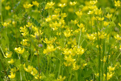 Yellow wild flowers Royalty Free Stock Photography