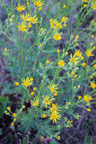 Yellow wild flowers. Spring yellow wild flowers and green foliage background Stock Image