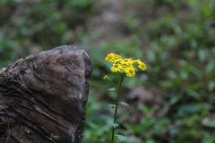 Yellow wild flowers and stone Stock Photo