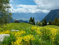 Yellow wild flowers on summer mountain slope Royalty Free Stock Photo