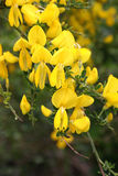 Yellow wild gorse flower Royalty Free Stock Photography