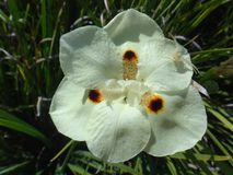 Yellow wild iris flower. Dietes, yellow wild iris, yellow flowering wild iris, peacock flower, false iris, evergreen iris, butterfly iris, spanish iris, south stock photo