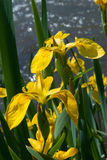Yellow wild iris Royalty Free Stock Photography
