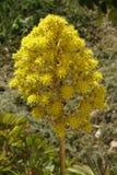 Aeonium arboreum Royalty Free Stock Images