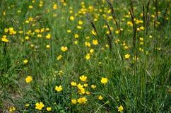 Yellow wild mountain flowers Royalty Free Stock Image