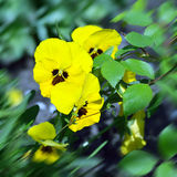 Yellow wild pansy flowers / Viola tricolor/ Alpine violet flower Stock Photography