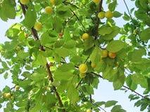 Yellow Wild Plum. Yellow fresh Wild Plum, season stock images