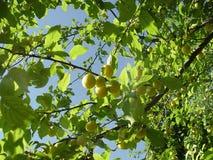 Yellow Wild Plum. Yellow fresh Wild Plum, season royalty free stock images