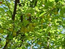 Yellow Wild Plum. Yellow fresh Wild Plum, season stock photo