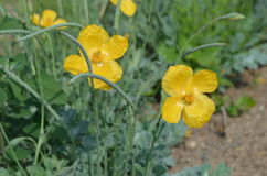 Yellow wild poppy. Blooming yellow wild poppy Glaucium fimbriligerum from Kyrgyzstan Stock Photos