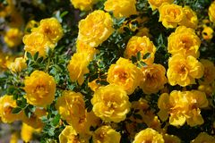 Yellow wild rose bush in bloom. Outdoor, dog, dogrose, aroma, background, beautiful, beauty, blooming, blossom, botanical, botany, briar, brier, bright royalty free stock photos