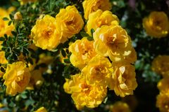 Yellow wild rose bush in bloom. Outdoor, dog, dogrose, aroma, background, beautiful, beauty, blooming, blossom, botanical, botany, briar, brier, bright royalty free stock images