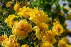 Yellow wild rose bush in bloom. Outdoor, dog, dogrose, aroma, background, beautiful, beauty, blooming, blossom, botanical, botany, briar, brier, bright stock photo