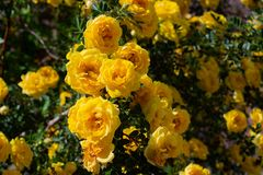 Yellow wild rose bush in bloom. Outdoor, dog, dogrose, aroma, background, beautiful, beauty, blooming, blossom, botanical, botany, briar, brier, bright royalty free stock photo